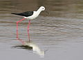 Black-winged Stilt, Common Stilt, or Pied Stilt, Himantopus himantopus at Borakalalo National Park, South Africa (9937630995).jpg