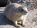 Black Tailed Prairie Dog Greycliff Montana 2007.jpg