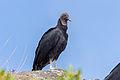 Black Vulture - Zamuro (Coragyps atratus) (13074578505).jpg