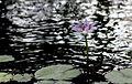Blaue Seerose (Nymphaea capensis) (12862292394).jpg