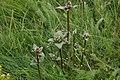Blekgentiana - Gentiana aurea0214 - Flickr - Ragnhild & Neil Crawford.jpg