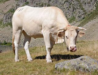 Bovini tribe of cattle