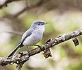 Blue-Gray Gnatcatcher (27469109681).jpg