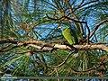 Blue-throated Barbet (Megalaima asiatica) (25586934652).jpg
