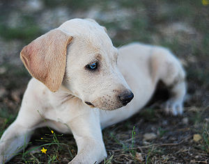 Blue Lacy - Red Lacy puppy