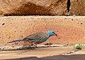 Blue Waxbill (Uraeginthus angolensis) male (32316479901).jpg