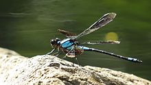 Blue damselfly lateral (16096715076).jpg