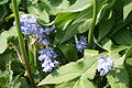 Bluebells at Ventnor Botanic Garden.JPG
