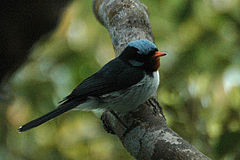 Bluecrestedflycatcher.jpg