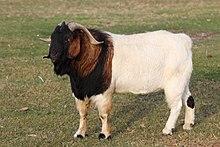 Boer goat - Wikipedia