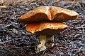 Bolete fungi. (Suillus bovinus) (34259832982).jpg