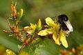 Bombus soroeensis - Hypericum maculatum - Keila.jpg