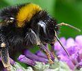 Bombus terrestris - Flickr - gailhampshire (4).jpg