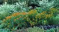 Border met Helenium en Artemisia lactiflora.JPG