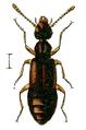 Boreaphilus velox.png