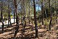 Bosquet de pins pels miradors del Moraig, el Poble Nou de Benitatxell.JPG
