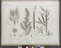 Botanique. 1. Fucus nayadiformis; 2. Dictyota implexa; 3. Fucus tetragonus; 4-7. Caulerpa prolifera (NYPL b14212718-1268688).tiff