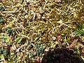 Brachythecium albicans 68487778.jpg