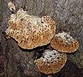 Bracket fungi, Bristol.jpg