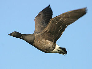 English: Image shows a Brent Goose (Branta ber...
