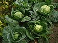 Brassica oleracea E1.jpg