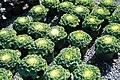 Brassica oleracea var. acephala Nagoya White 2zz.jpg