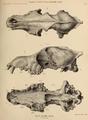 British Pleistocene Mammalia (1866) Wolf Cranium.png