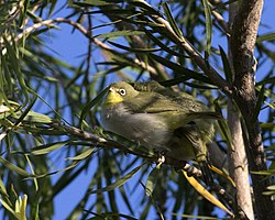 Broad-ringed White-eye ( Zosterops poliogastrus) (17977024739).jpg