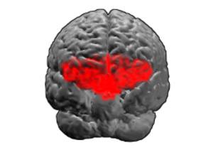 Brodmann area 11 - Image of brain with Brodmann area 11 shown in red