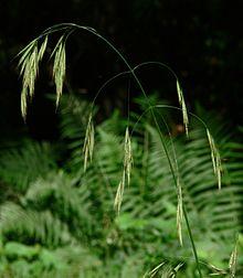 Bromus ramosus IP0706072.JPG