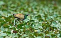 Bronze-winged Jacana Metopidius indicus male carrying hatchlings tucked under wings image by Vedant Kasambe 03.jpg