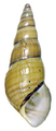 Brotia citrina shell.png