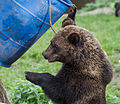 Brown bear at Skansen3-2 (15158944646).jpg