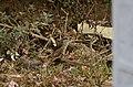 Brown shrike (Lanius cristatus) from Valparai JEG8098.jpg