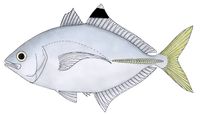 Brownback trevally