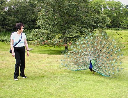 A peacock displays to a visitor Brownsea.island.peacock.arp.jpg