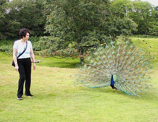 Brownsea.island.peacock.arp