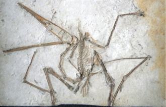 Pterodactylus - Sub-adult type specimen of P. antiquus, Bavarian State Collection for Palaeontology and Geology
