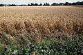 Buckland lane wheat field in Staple Kent England.jpg