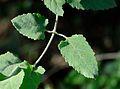 Buddleja dysophylla, blare, Jan Celliers Park.jpg