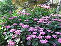 Buisson de grosses fleurs mauves.jpg