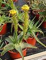 Bulbine natalensis2.jpg