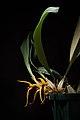 Bulbophyllum recurvilabre Garay, Harvard Pap. Bot. 4 304 (1999) (27955627007).jpg