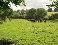 Bullocks near Wadley Brook (2) - geograph.org.uk - 1468536.jpg