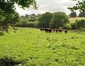 Bullocks near Wadley Brook (2) - geograph.org.uk - 1468536.jpg