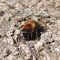 Bumblebee (Bombus hypnorum), Sandy, Bedfordshire (14166302203).jpg