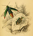 Buprestis fulminans and Curculio splendens - The natural history of beetles.jpg