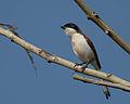 Burmese Shrike.jpg
