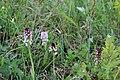 Burnt-tip Orchid - Neotinea ustulata - panoramio (48).jpg