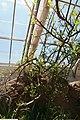 Bursera microphylla 4zz.jpg